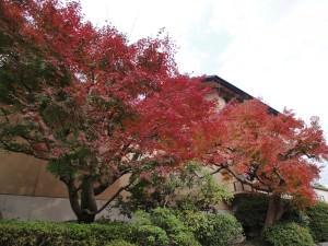 紅葉がようやく色づきました。