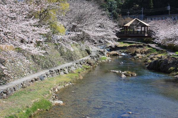 まもなく桜の季節を迎えます。