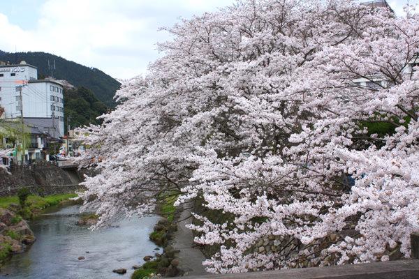 ~4月7日の桜開花状況~
