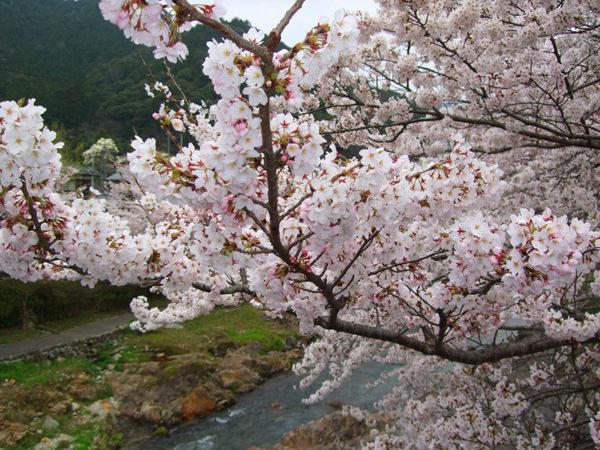 ~4月5日の桜開花状況~