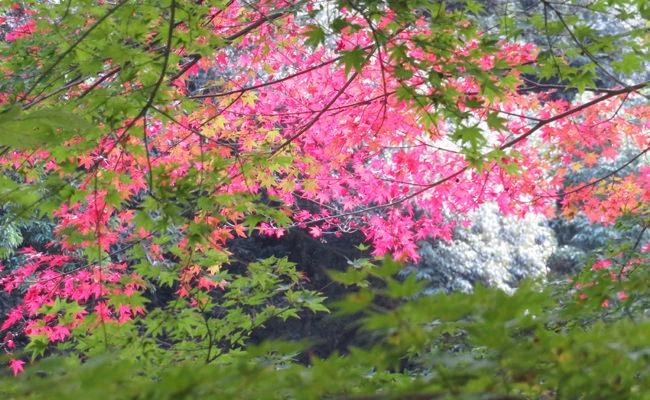 【周辺観光】長門湯本温泉の紅葉状況~大寧寺のもみじ