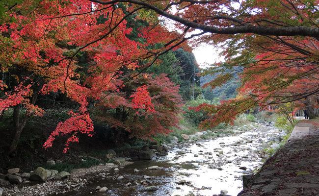 【周辺観光】紅葉の見ごろを迎えました~長門湯本温泉の紅葉状況(11月11日)