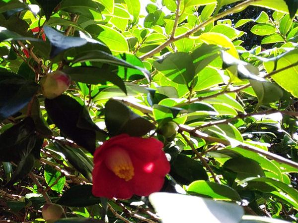 【周辺観光】春の訪れを感じる「萩・椿まつり」。今年も藪椿が咲いております。