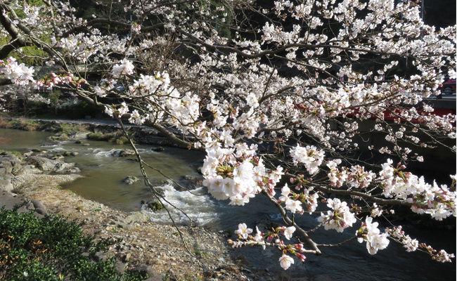 【2018年桜情報】大谷山荘前の桜、もうすぐ満開です(3月27日現在)