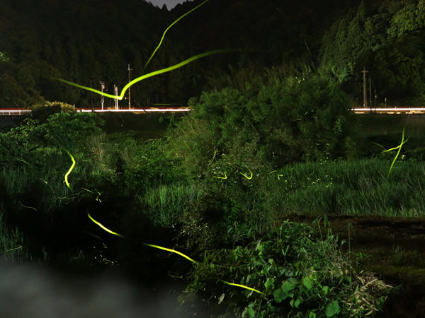 [Sightseeing in Yamaguchi] Scenes from the Otozure River & the Peak of the Firefly Season: As of June 9, 2018