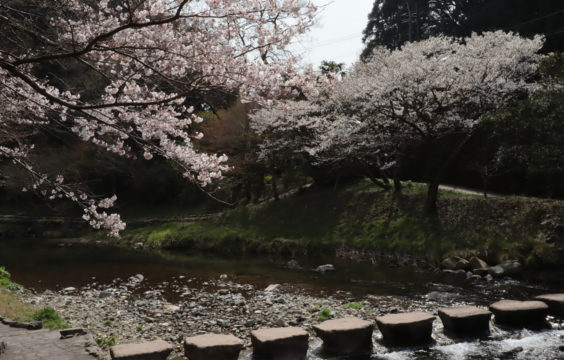 cherryblossom in front of Otanisanso1