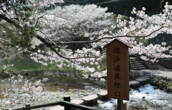 cherryblossom in front of Otanisanso2