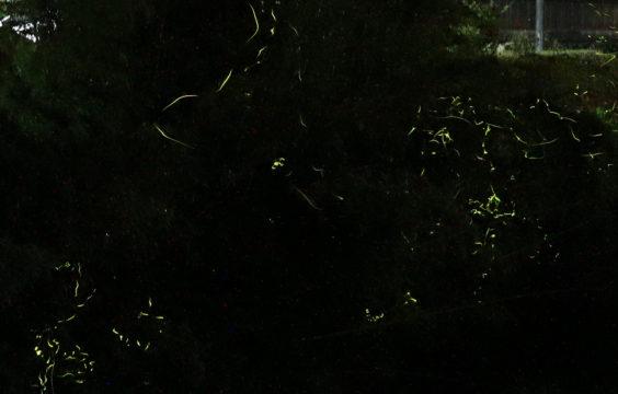 firefly-otanisanso