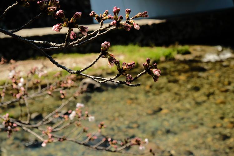 音信川沿いの桜