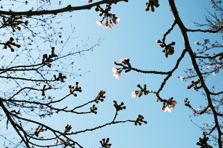 大谷山荘前の桜