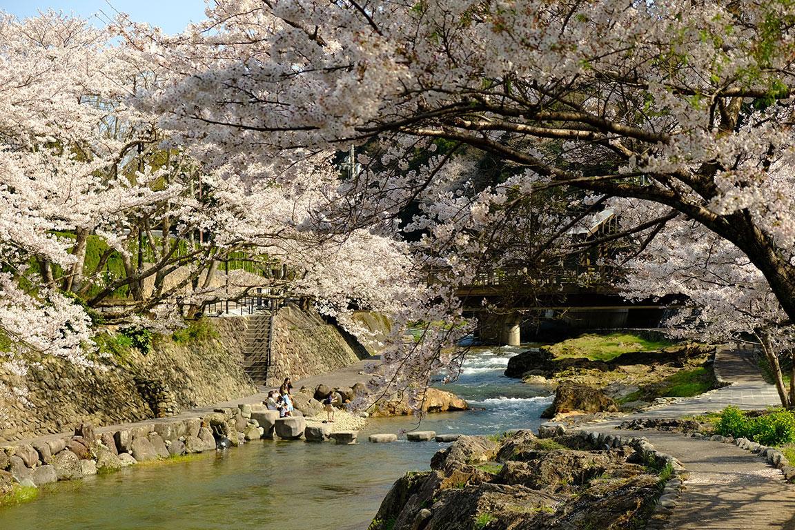 桜が満開になりました(3)