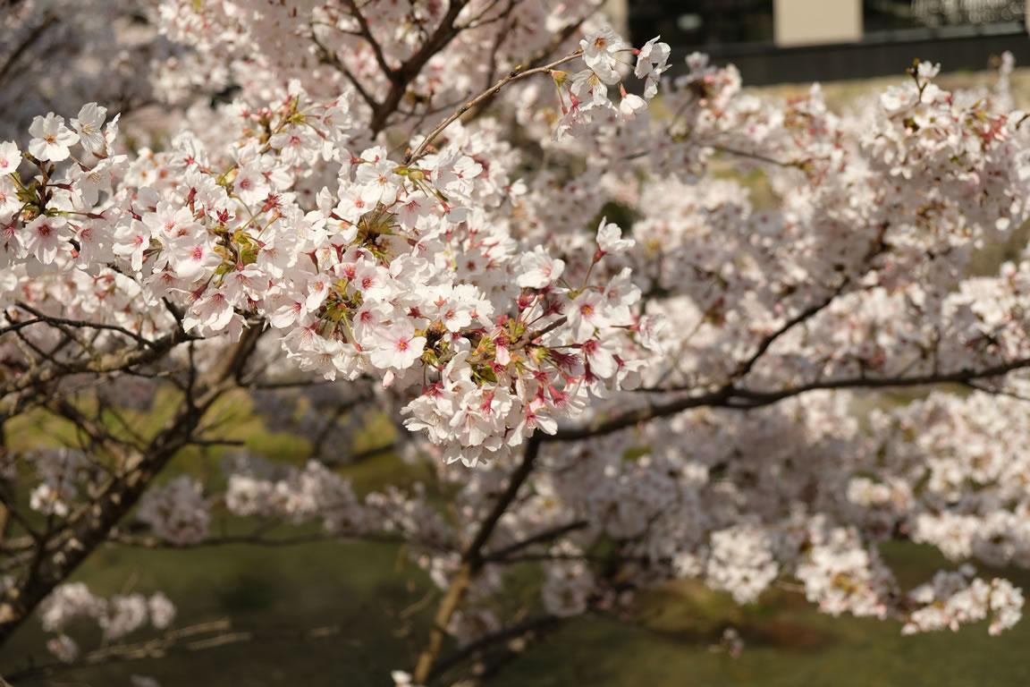 桜が満開になりました(2)