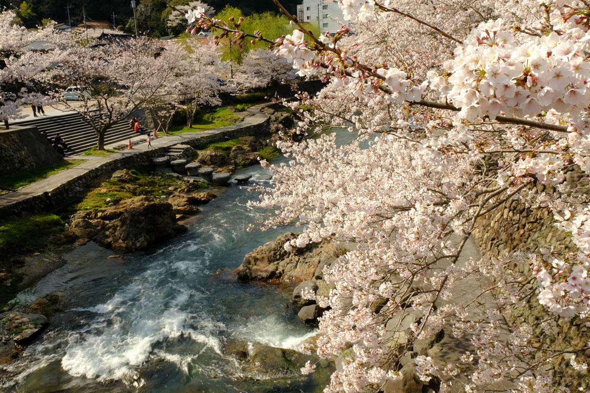桜が満開になりました(1)
