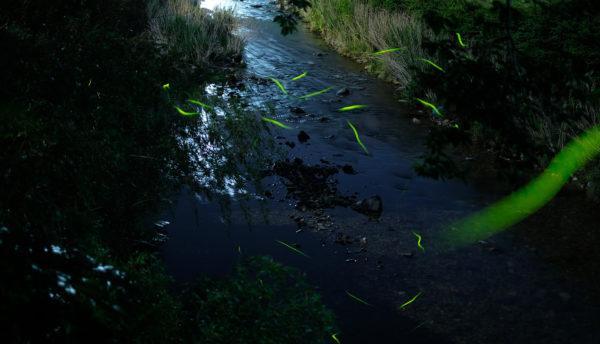 【夏の催し】長門湯本温泉で蛍鑑賞~徒歩で楽しむ初夏のお知らせ