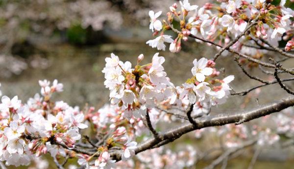 【山口観光】桜が開花しました。大谷山荘前の桜情報